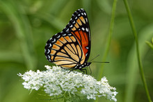 A Viceroy Butterfly Rests On A...