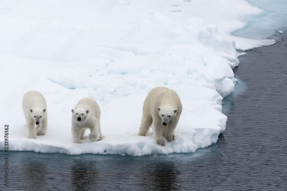 Polar bear (Ursus maritimus) mother and twin cubs on the pack ice, north of Svalbard Arctic Norway