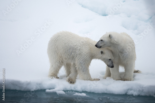 Photo sur Toile Ours Blanc Polar bear (Ursus maritimus) mother and cub on the pack ice, north of Svalbard Arctic Norway