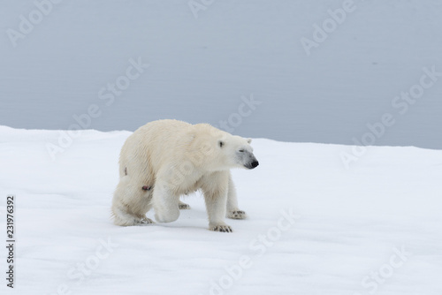In de dag Ijsbeer Polar bear injured on the pack ice, north of Svalbard Arctic Norway