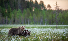 She-bear And Bear Cubs In The ...