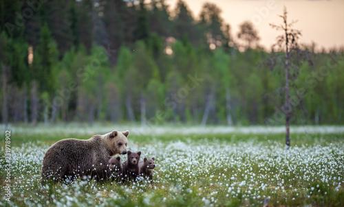 Naklejka premium Niedźwiedzica i niedźwiadki w letnim lesie na torfowisku wśród białych kwiatów. Naturalne środowisko. Niedźwiedź brunatny, nazwa naukowa: Ursus arctos. Sezon letni.