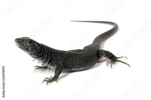 Photo  melanistische Perleidechse (Timon lepidus) - Ocellated lizard