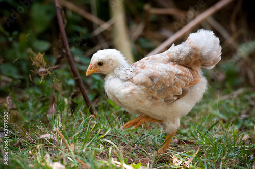 Fotografia  Hühnerküken