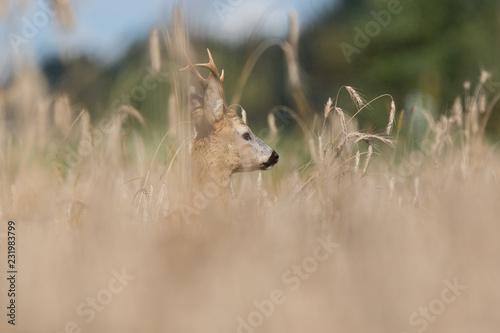 Staande foto Ree Roebuck - buck (Capreolus capreolus) Roe deer - goat