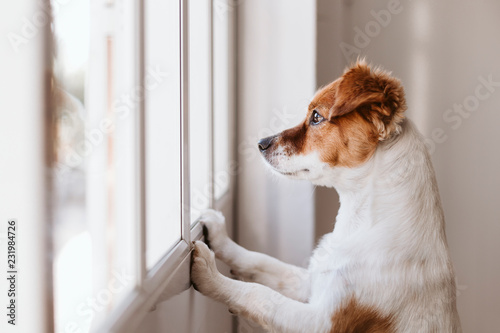 Spoed Foto op Canvas Hond cute small dog standing on two legs and looking away by the window searching or waiting for his owner. Pets indoors