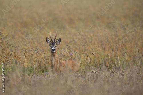 Garden Poster Roe Roebuck - buck (Capreolus capreolus) Roe deer - goat