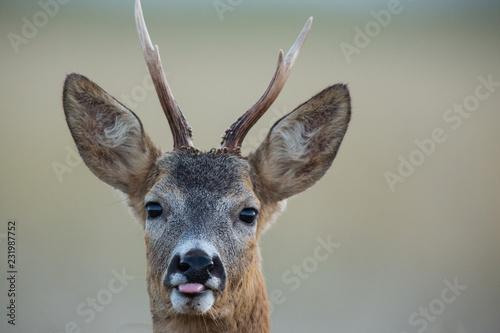 Montage in der Fensternische Reh Roebuck - buck (Capreolus capreolus) Roe deer - goat