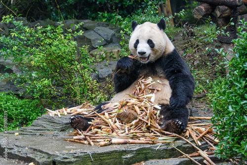 Fotografia, Obraz  Giant Panda eating