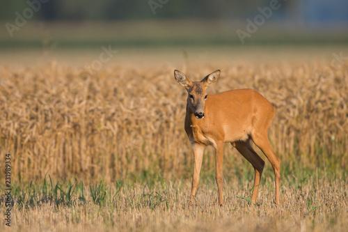 Keuken foto achterwand Antilope Roebuck - buck (Capreolus capreolus) Roe deer - goat