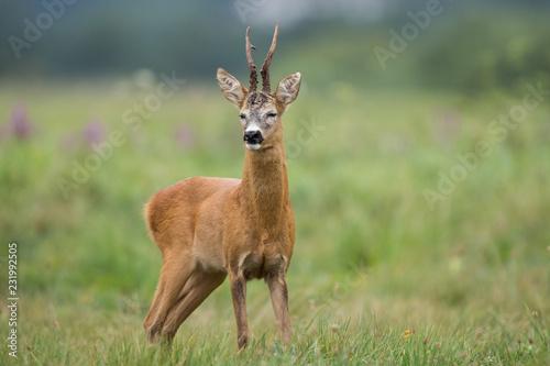 Poster Hert Roebuck - buck (Capreolus capreolus) Roe deer - goat