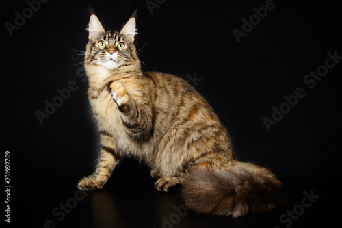 Obraz Maine Coon cat on colored backgrounds - fototapety do salonu