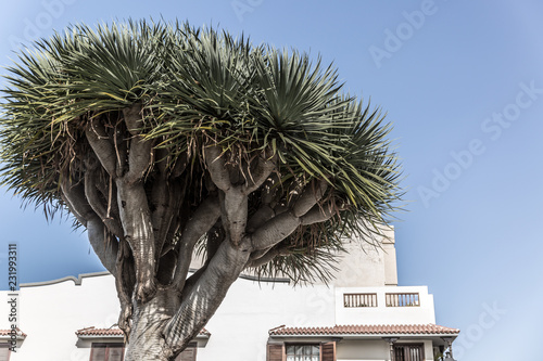 Tuinposter Canarische Eilanden Precious drago tree, typical tree in the Canary Islands
