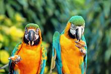 Perroquets à Deshaies En Guadeloupe Mangeant Un Gâteau