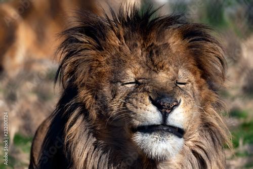 Staande foto Leeuw Male lion making a funny face