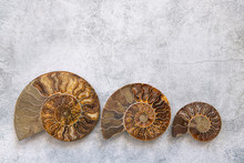Three Ammonite Different Size,...