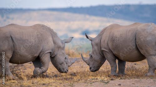 In de dag Neushoorn Rhinos - Kruger, South Africa
