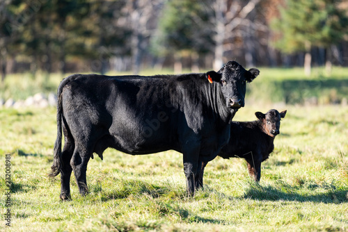 Black Angus cow and calf Canvas Print