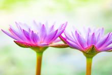 Close Up Beautiful Purple Lotu...