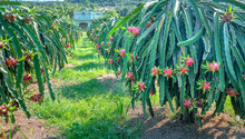 Dragon Fruit Tree With Ripe Re...