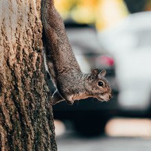 Squirrel Climbing Tree Trunk In City