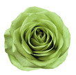 canvas print picture Light green  flower rose  on  white isolated background with clipping path.  no shadows. Closeup.  For design. Nature.