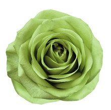 Light Green  Flower Rose  On  ...