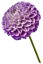 Beautiful Purple Dahlia Flower On A White Isolated Background. Flower On The Stem. Closeup.  Nature.