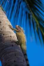 Iguana Climbing A Palm Tree