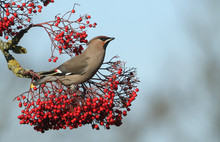A Magnificent Waxwing (Bombyci...