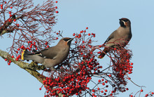 Magnificent Waxwings (Bombycil...
