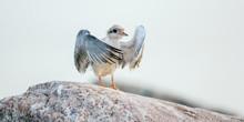 Baby Bird Of Common Tern.  The Common Tern (Sterna Hirundo) Is A Seabird Of The Tern Family Sternidae.