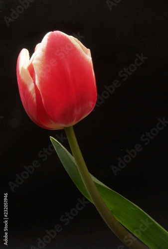 Spoed Foto op Canvas Tulp red tulip on black background