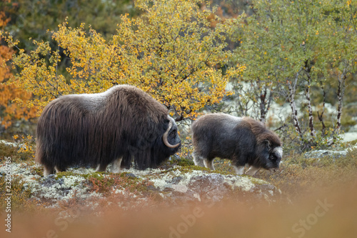 Deurstickers Buffel Musk-ox in a fall colored setting at Dovrefjell Norway