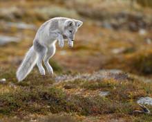 Arctic Fox Living In The Arcti...