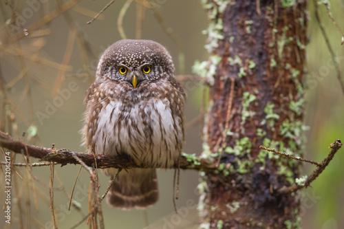 In de dag Uil Owls - Pygmy Owl (Glaucidium passerinum)