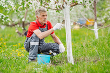 Farmer Covering The Tree With White Paint To Protect Against Rodents, Spring Garden Work, Whitewashed Trees. Gardening And People Concept