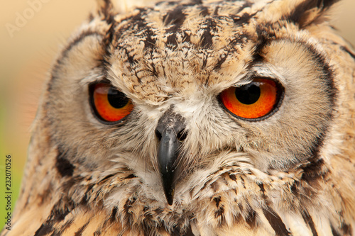 Foto op Canvas Uil Eagle Owl, Bubo bubo