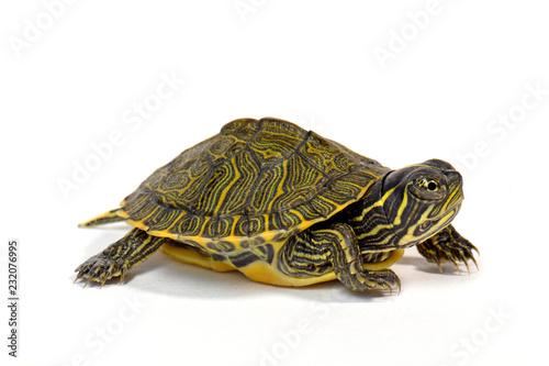 Hieroglyphen-Schmuckschildkröte (Pseudemys concinna) - River cooter