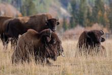 Bison Or Bison (lat. Bison) - ...