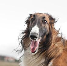 Russian Hunting Sighthound Portrait. Russkaya Psovaya Borzaya Or Russian Wolfhound.