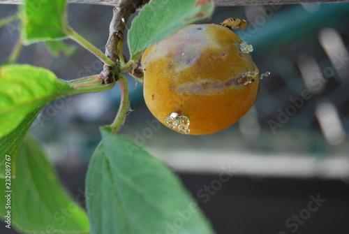 Pflaumenbaum mit Fruchtbefall durch Pflaumenwickler