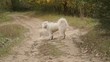 Samoyed dog in park