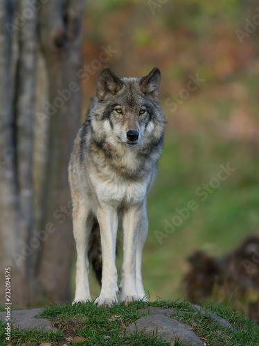 A lone Timber wolf or Grey Wolf (Canis lupus) standing on a rocky cliff in autumn in Canada