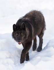 A lone Black wolf (Canis lupus) isolated on white background walking in the winter snow in Canada