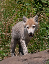 A Lone Arctic Wolf (Canis Lupus Arctos) Pup Walking On A Rocky Cliff In Summer In Canada