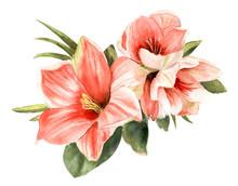 Wonderful Pink Amaryllis. Hand...