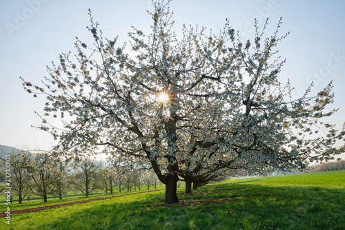 Switzerland, blossoming cherry trees on a meadow at backlight