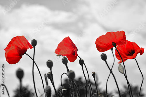 Red poppy flowers on spring agricultural field surrounded by black and white background