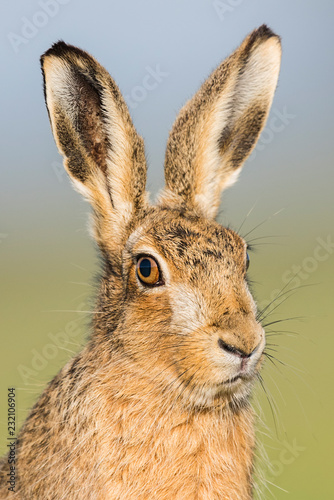 Fototapeta Brown Hare